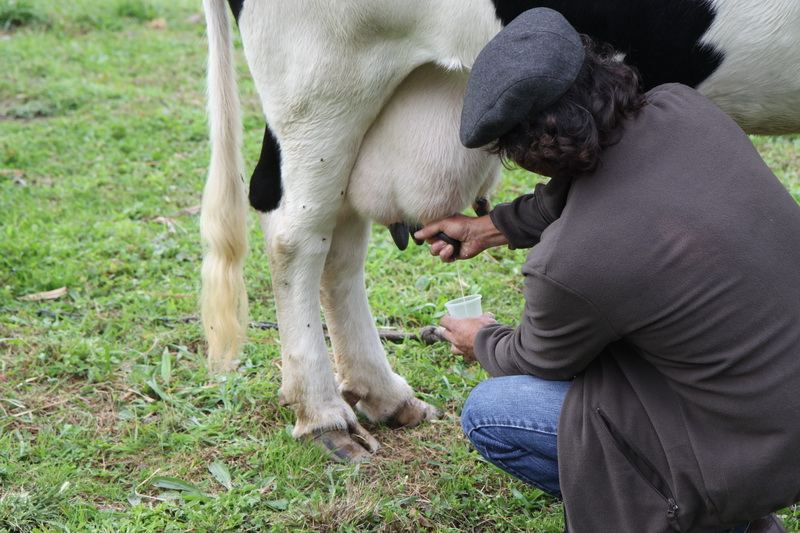 Доим корову, Азорские острова 2015